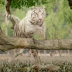 Roar Movie - The Tigers of Sundarbans